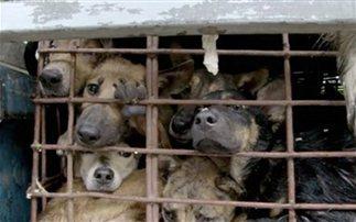 Η βιομηχανία σφαγής σκύλων στο Βιετνάμ