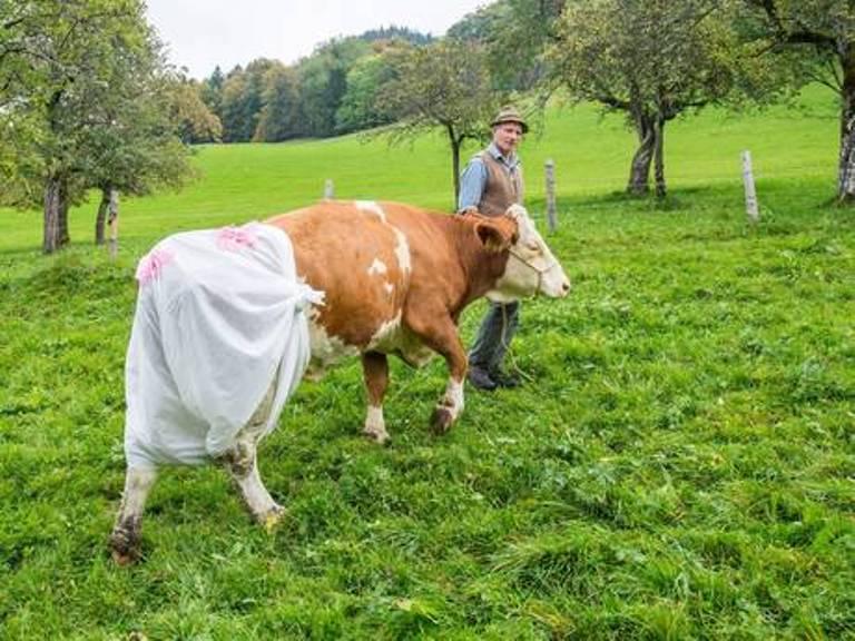 Γερμανοί κτηνοτρόφοι φόρεσαν... πάνες στις αγελάδες τους