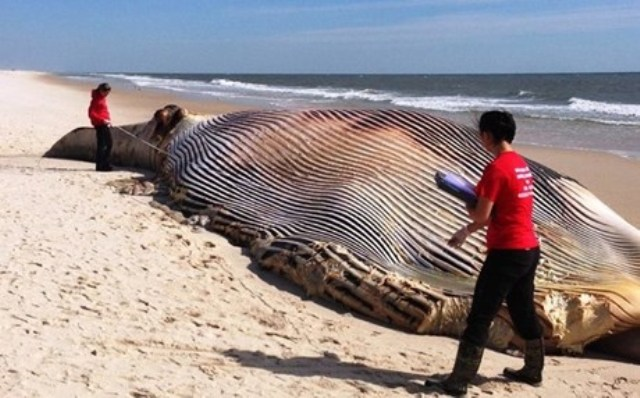 Φάλαινα 20 μέτρων ξεβράστηκε σε παραλία της Νέας Υόρκης