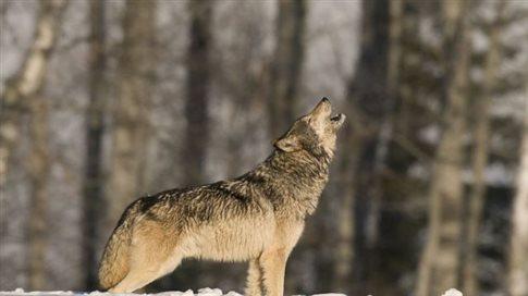 Φρικτή δολοφονία λύκου και ανάρτηση των φωτογραφιών στο Facebook