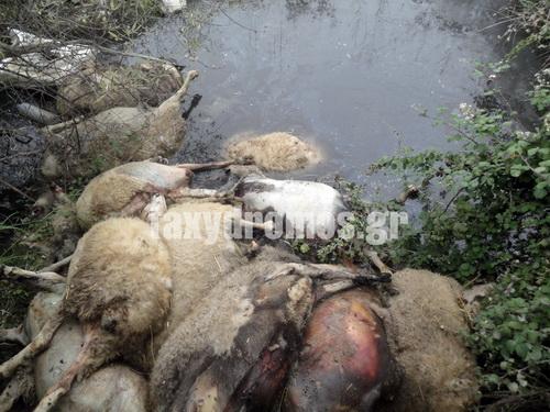 Εκατόμβη νεκρών ζώων σε ρέματα της Αισωνίας ~ Σήμερα επιτέλους αναμένεται η εταιρεία περισυλλογής