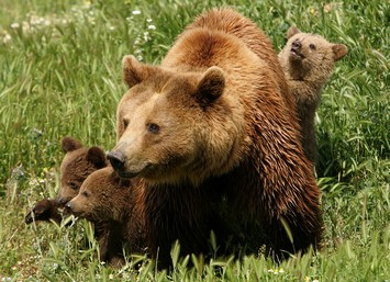 Καλιφόρνια: Αρκούδα τρεφόταν επί μέρες με το σώμα ενός νεκρού