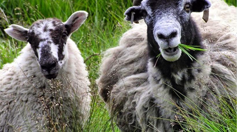 Πρόβατα έφαγαν μαριχουάνα αξίας 5.000 ευρώ!