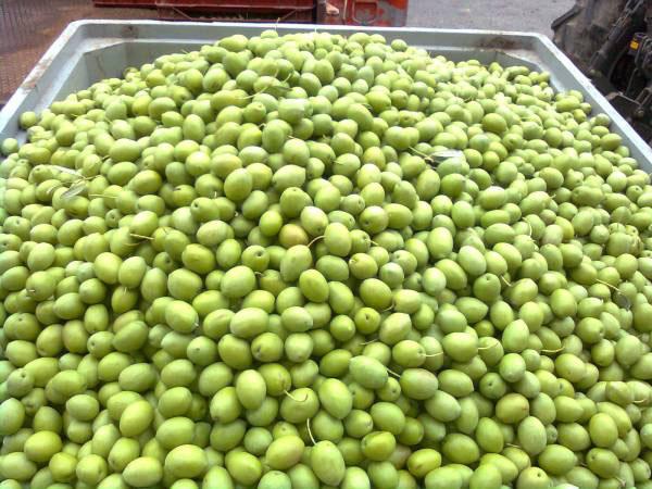 Συγκεντρώθηκαν 1.600 τόνοι πράσινης ελιάς
