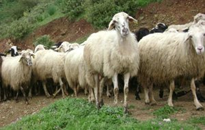 Εμπρησμός για τα νεκρά πρόβατα;