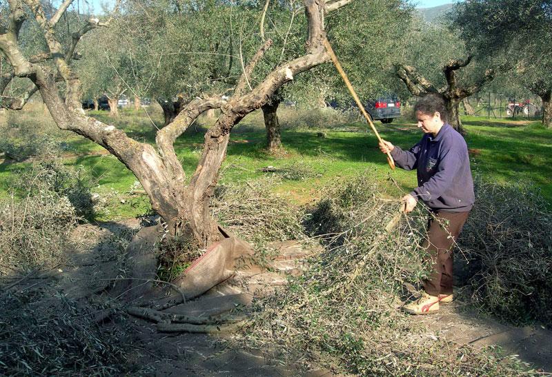 Πτώση ελαιοκάρπου 80% στη Σκόπελο ~ Σε απόγνωση οι παραγωγοί του νησιού