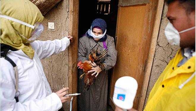 Αίγυπτος: Τρεις οι νεκροί από την γρίπη των πτηνών