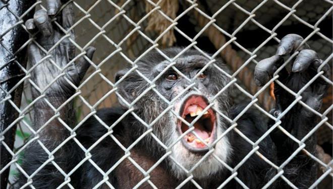 Δικαστικό «όχι» στην αναγνώριση ανθρώπινων δικαιωμάτων σε χιμπατζή