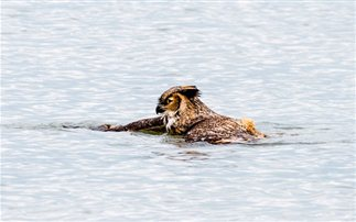 Οι κουκουβάγιες κολυμπούν