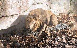 Μπήκε στο λάκκο… με τα λιοντάρια