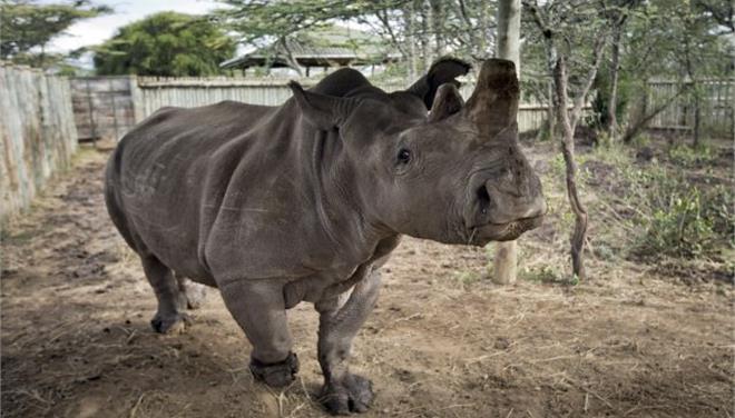 Πέθανε ένας από τους έξι τελευταίους βόρειους λευκούς ρινόκερους