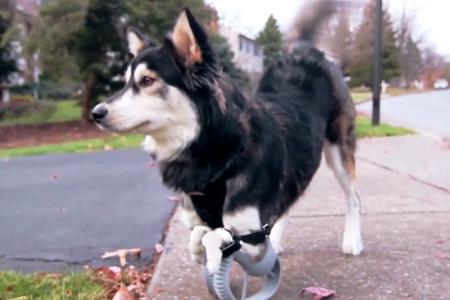 Παραπληγικός σκύλος περπάτησε χάρη στην τρισδιάστατη εκτύπωση