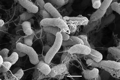 Βακτήριο της χολέρας, μαχαιροβγάλτης και κλέφτης DNA