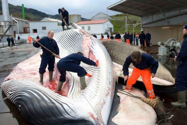 Μπύρα από όρχεις φάλαινας εξοργίζει περιβαλλοντικές οργανώσεις