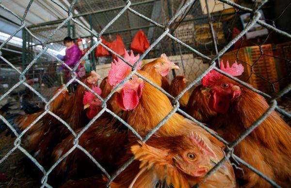 Ακόμη και τα κοτόπουλα μετρούν από τα αριστερά προς τα δεξιά