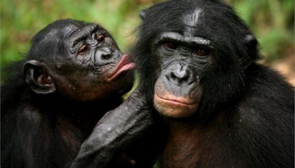 Και οι χιμπατζήδες μαθαίνουν... ξένες γλώσσες