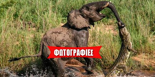 Κροκόδειλος δαγκώνει την προβοσκίδα ελέφαντα