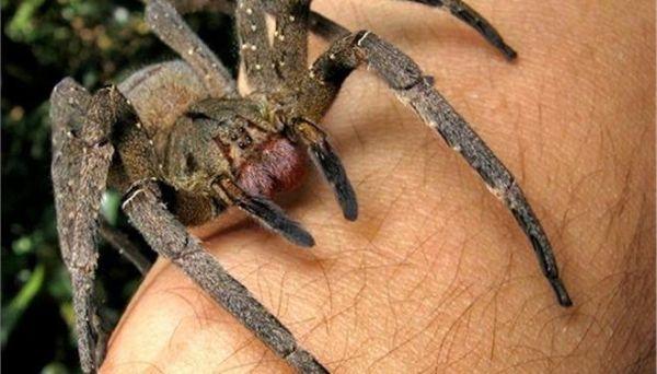 Δηλητήριο αράχνης «ίσως γίνει το επόμενο Viagra»
