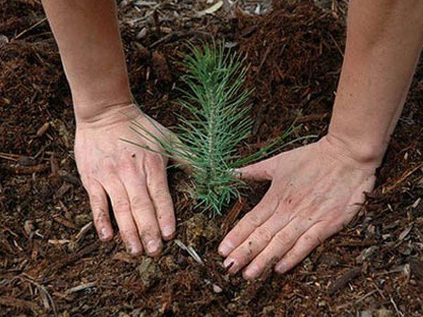 Θα φυτέψουν δέντρα έξω από το δάσος Κουρί