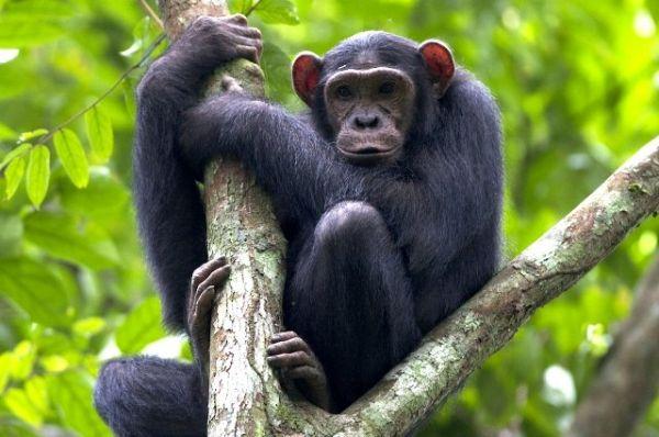 Το AIDS μεταδόθηκε στους ανθρώπους από χιμπατζήδες και γορίλες
