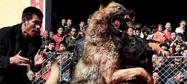 Στη Βόρεια Κίνα βάζουν τα σκυλιά σε διαγωνισμούς να παλέψουν μέχρι θανάτου [εικόνες]