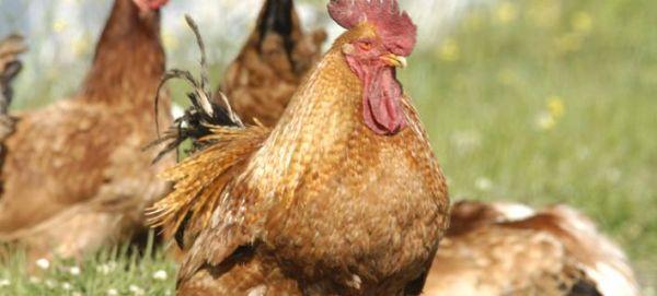 Αυγό με λοφίο γέννησε κότα στον Τύρναβο [εικόνα]