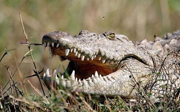 Κροκόδειλος κατασπάραξε άνθρωπο