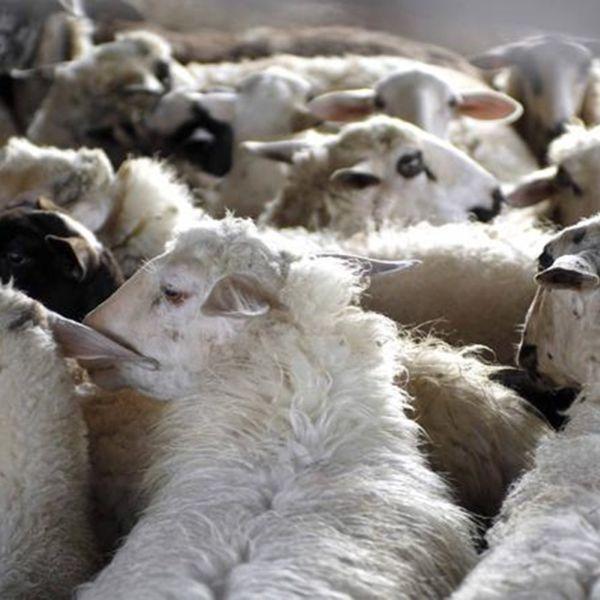 Μειωμένη έως 40% η παραγωγή, πεθαίνουν αρνιά από ασιτία