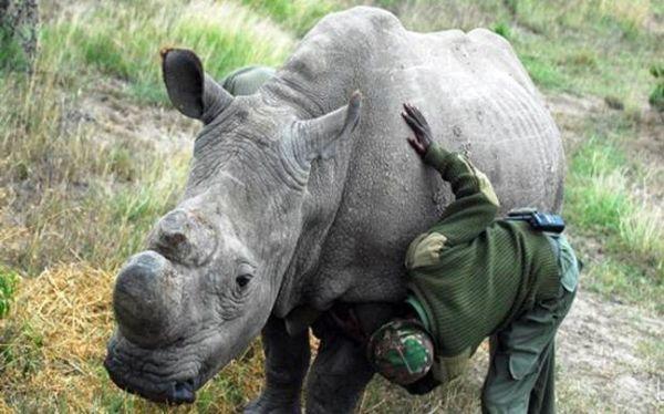 Ο τελευταίος αρσενικός λευκός ρινόκερος φυλάσσεται από ένοπλους