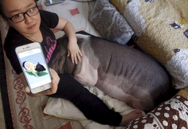 Γουρούνι κάτοικος Πεκίνου