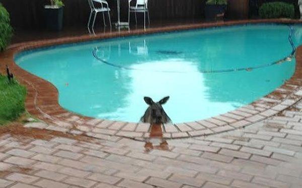 Βρήκε ένα καγκουρό στην πισίνα του!