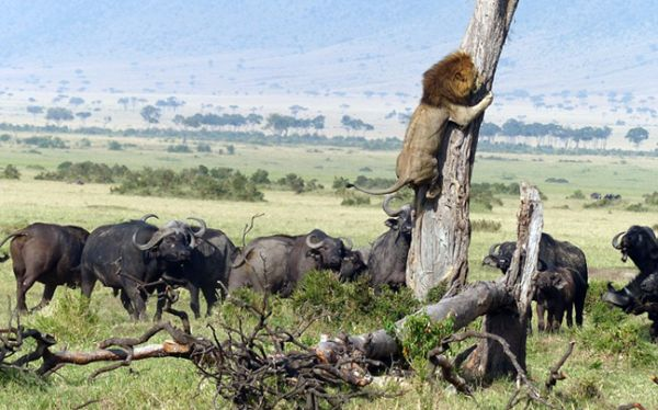 Το τρομαγμένο λιοντάρι