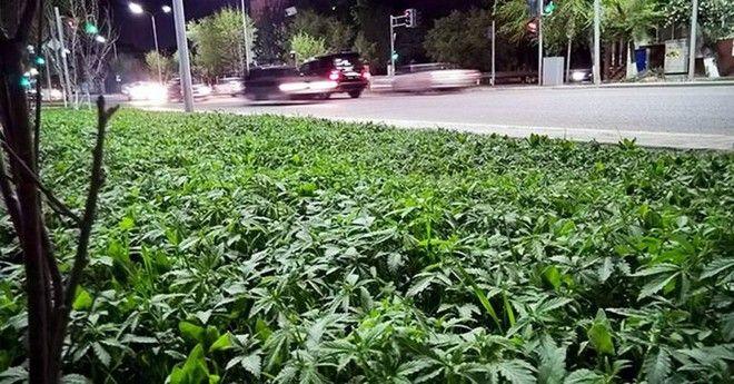 Δήμαρχος διακόσμησε κατά λάθος τις πλατείες με μαριχουάνα