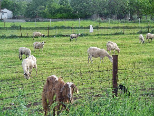 Δημοτικό κτηνοτροφικό πάρκο εξετάζει ο Δήμος Βόλου