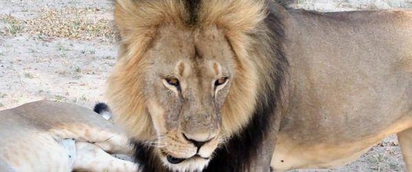 Κυνηγός σκότωσε τον Σεσίλ, το λιοντάρι της Ζιμπάμπουε
