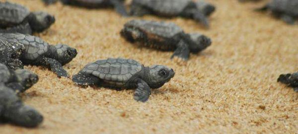 Νεογέννητα χελωνάκια βγαίνουν από τη φωλιά τους στη Ζάκυνθο (βίντεο)