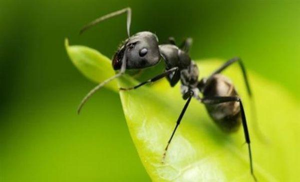 Μυρμήγκια πίνουν οξυζενέ για να απαλλαγούν από μυκητιάσεις