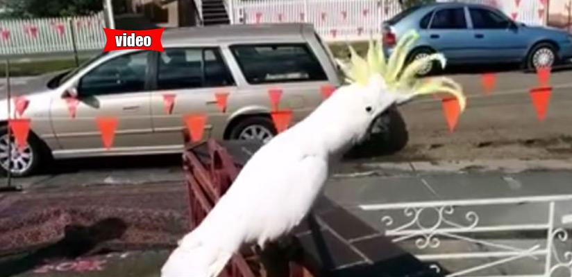 Παπαγάλος στην Αυστραλία τραγουδάει... «Σαν πας στην Καλαμάτα»