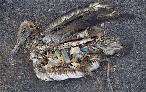 Τα περισσότερα θαλασσοπούλια έχουν πλαστικά στο στομάχι