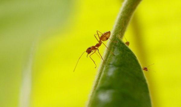 Μυρμήγκια προστατεύουν τις καλλιέργειες αγροτών