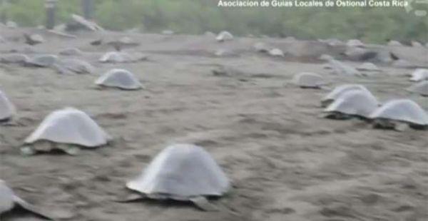 Χιλιάδες θαλάσσιες χελώνες στις ακτές της Κόστα Ρίκα