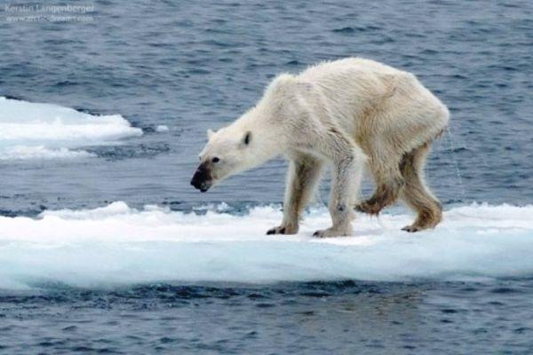 Πολική αρκούδα «σκιάχτρο» τρεκλίζει σε λιωμένους πάγους