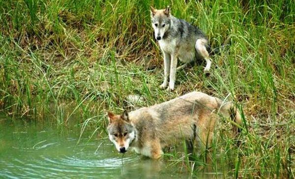 Επιθέσεις λύκων σε κυνηγόσκυλα στον Έβρο