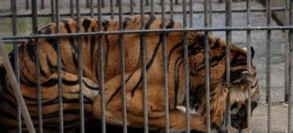 Πέθανε στις ΗΠΑ ο τίγρης των Τρικάλων