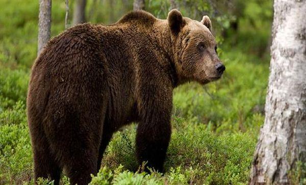 Διάσωση αρκούδας που είχε παγιδευτεί σε παράνομη θηλιά