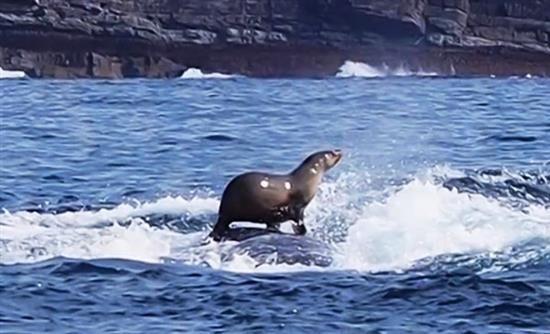 Φώκια… σερφάρει πάνω σε φάλαινα!
