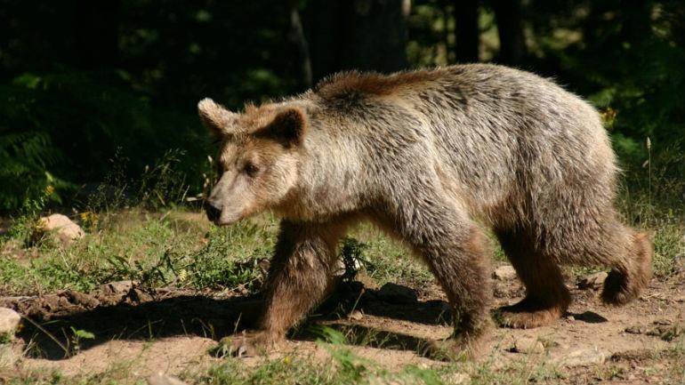 Τρίκαλα: Αρκούδα... καταβρόχθισε κατσίκα και σκόρπισε τον πανικό