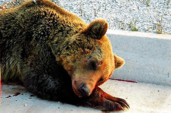 Αστυνομικοί σκότωσαν αρκούδα που κατέφυγε σε δημοτικό σχολείο (video)