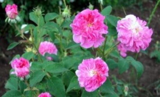 Ηλεκτρονικά τριαντάφυλλα από Ελληνίδα της Διασποράς