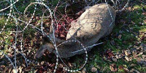 Οι φράχτες για τους πρόσφυγες σκοτώνουν άγρια ζώα